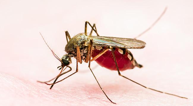 Bir sivrisinek türünün ısırması sonucunda ortaya çıkan grip benzeri hastalık: Sarı Humma