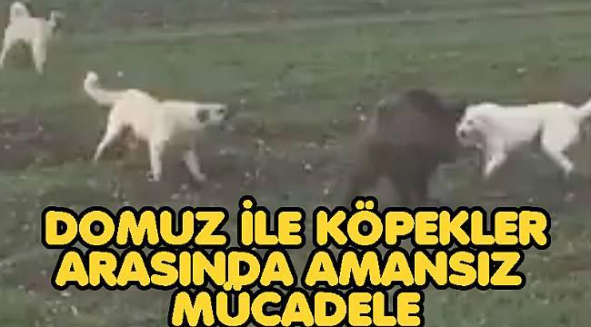 Afyon'da Domuz ile köpekler arasındaki amansız mücadele böyle görüntülendi