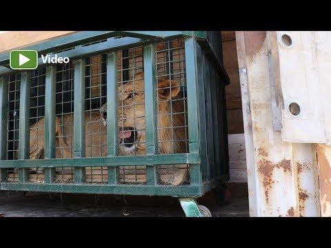 Suriye'deki Yaban Hayvanları Artık Güvende…
