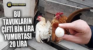 Malezya cinsi 300 gramlık tavukların çifti bin TL'ye satılıyor